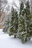 Snow fall on pine trees — Stock Photo