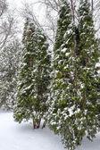 Snow fall on pine trees — Stock Photo