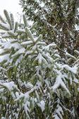 Snow fall on pine tree — Stock Photo