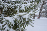 Snow fall on pine tree — Stock Photo