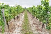 Grape field during harvest season — Stock Photo