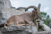 Goat reasting on a hill — Stock fotografie