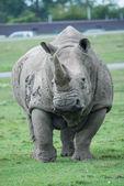 African rhino on a grass field — Stock Photo