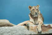 Lions laying on rock — Stock Photo