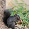 Squirrel looking for food — Stock Photo #37363503