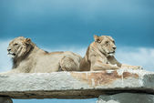 Lions laying on rock — Foto de Stock