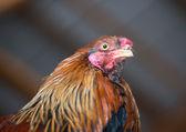 在一个典型的农场上的公鸡 — 图库照片
