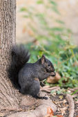 Squirrel looking for food — Stock Photo