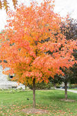 Maple tree in autumn time — Stock Photo