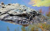 Alligator at Orton Pond — Stock Photo