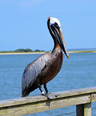 Pelican in Southport NC — Stockfoto