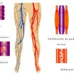������, ������: Vascular System Legs