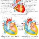 Постер, плакат: Heart