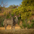 Greater Kudu Antelopes  — Stock Photo