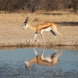 Impala at waterhole — Stockfoto