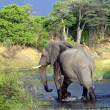 Stock Photo: AfricElephant, Botswana