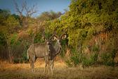 Greater Kudu Antelopes — Stock Photo