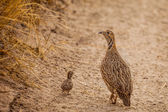 Wild Afrcan Orange River Francolin with chick — Stock Photo