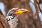 Southern Yellow-billed Hornbill on the tree in  Botswana — Stock Photo