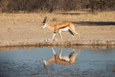 Impala at waterhole — Stock Photo
