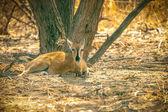 Savanna botsvana steenbok antilop aittir — Stok fotoğraf