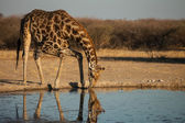 Giraffe at waterhole drinks water in Botswana — Stok fotoğraf