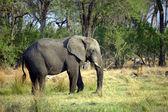 Large African Elephant — Stock Photo