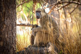 African Baboon mother and baby — Foto de Stock