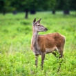 Roe Deer in the park — Stok fotoğraf
