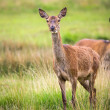 Roe Deer in the park — Stock Photo