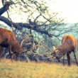 Fight of Red Deer Stags — Foto de Stock