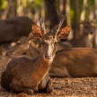 Timor Deer in the park at Tiger Temple in Thailand  — Стоковая фотография