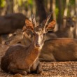 Timor Deer in the park at Tiger Temple in Thailand  — Stok fotoğraf