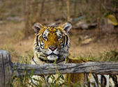 Tiger in Thailan — Stock Photo