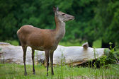 Female Red Deer in the park — Stockfoto