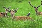 Damhirsche im Gras liegend — Stockfoto