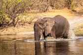Savanna botsvana nehre afrika fili — Stok fotoğraf