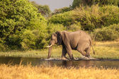 African elephant walks in to the river in Botswana — Stockfoto