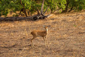 Steenbok Antelope in savanna of Botswana — Stock Photo