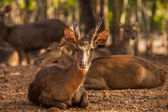 Timor Deer in the park at Tiger Temple in Thailand — Stock Photo