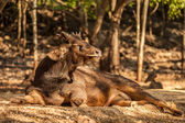 Sambar Deer in the park at Tiger Temple in Thailand — Stock Photo