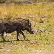 Stock Photo: Warthog walks in reserve of Botswana, South Africa