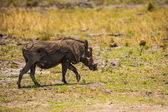 Warthog walks in reserve of Botswana, South Africa — Stock Photo
