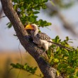 Southern Yellow-billed Hornbill on tree in Botswana — Stock Photo