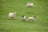 Scotland landscape and meadows with sheep — Stock Photo