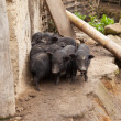 Vietnamese potbellied smal pigs — Stock Photo #38308509