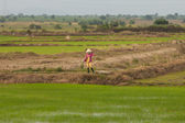 Woman at rice fields, Vietnam — Stock Photo