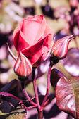 芽と赤いバラrudá růže s poupaty — Stock fotografie