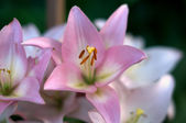 Pink Lily Detail — Stock Photo