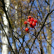 Branch  with berries — Stock Photo